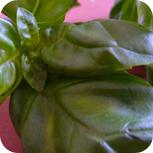 eingelegter Mozzarella - Basilikum
